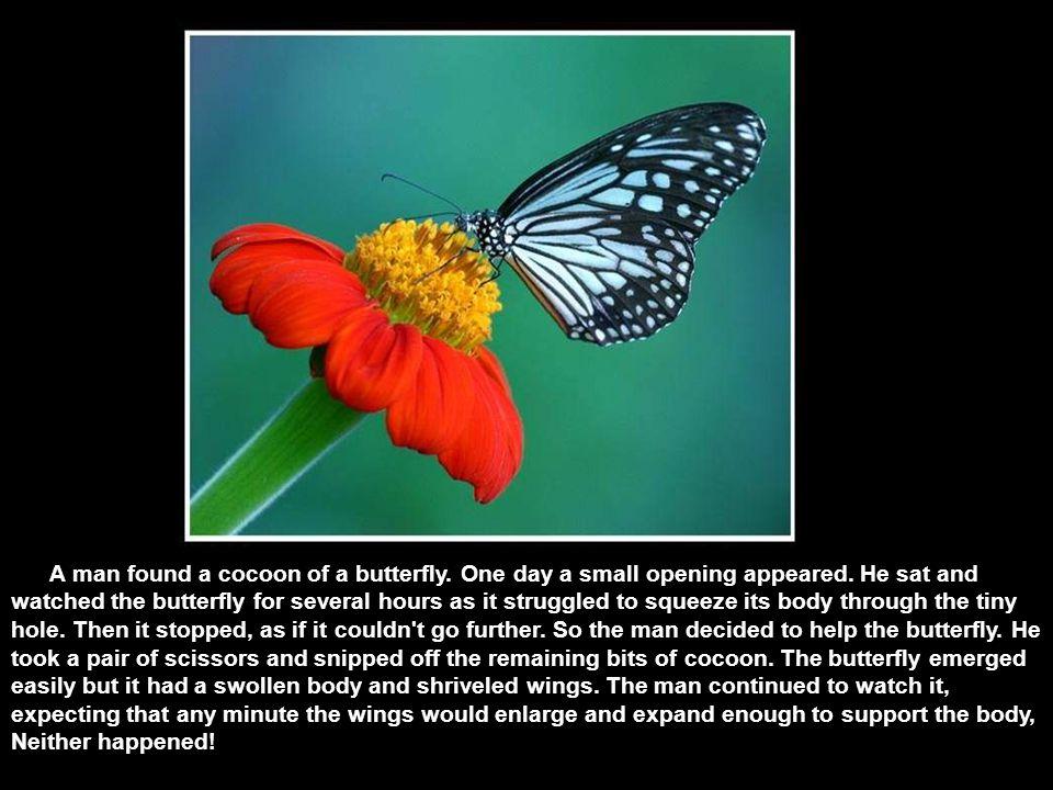 A man found a cocoon of a butterfly.One day a small opening appeared.