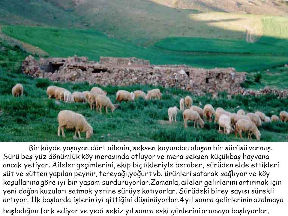 Bir köyde yaşayan dört ailenin, seksen koyundan oluşan bir sürüsü varmış.