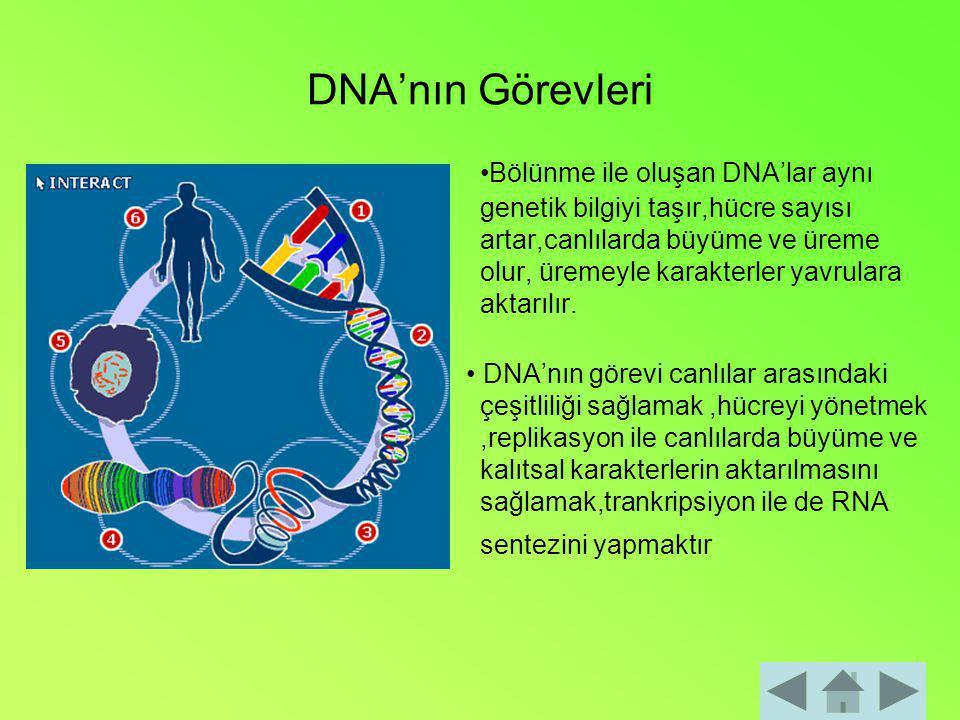DNA'nın Görevleri Bölünme ile oluşan DNA'lar aynı genetik bilgiyi taşır,hücre sayısı artar,canlılarda büyüme ve üreme olur, üremeyle karakterler yavru