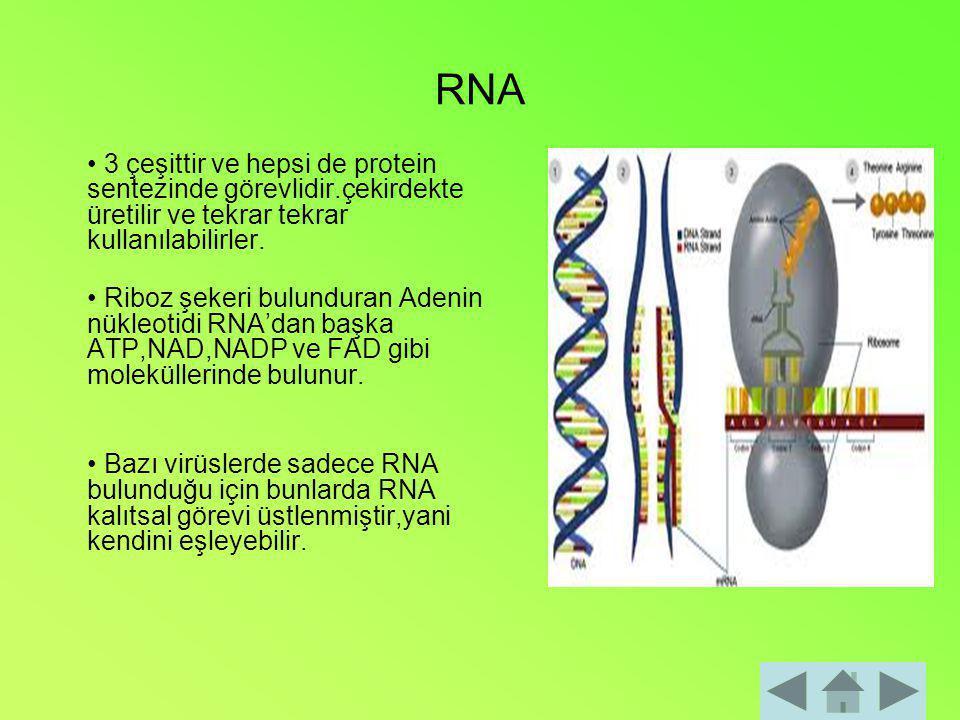 RNA 3 çeşittir ve hepsi de protein sentezinde görevlidir.çekirdekte üretilir ve tekrar tekrar kullanılabilirler. Riboz şekeri bulunduran Adenin nükleo