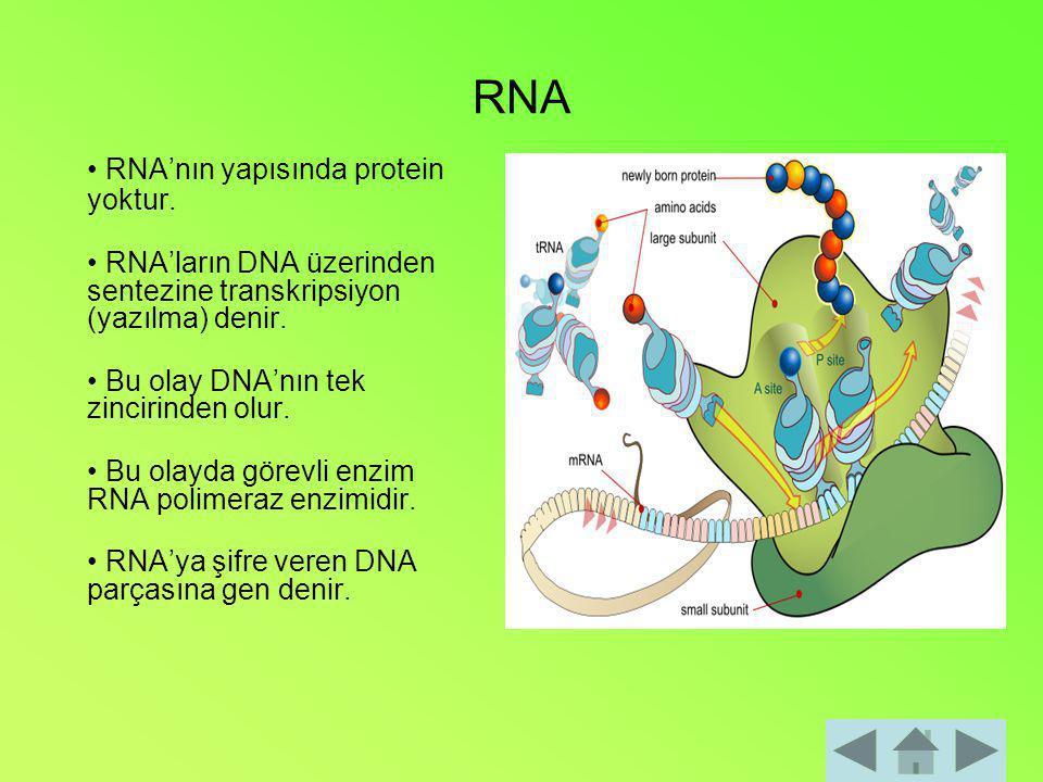RNA RNA'nın yapısında protein yoktur. RNA'ların DNA üzerinden sentezine transkripsiyon (yazılma) denir. Bu olay DNA'nın tek zincirinden olur. Bu olayd