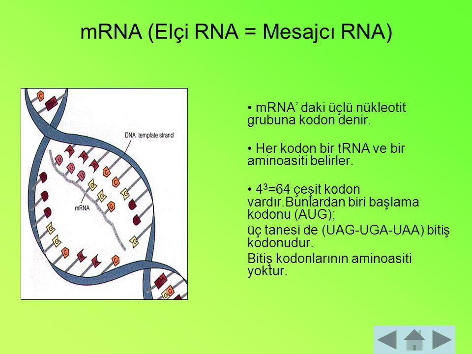 mRNA (Elçi RNA = Mesajcı RNA) mRNA' daki üçlü nükleotit grubuna kodon denir. Her kodon bir tRNA ve bir aminoasiti belirler. 4 3 =64 çeşit kodon vardır