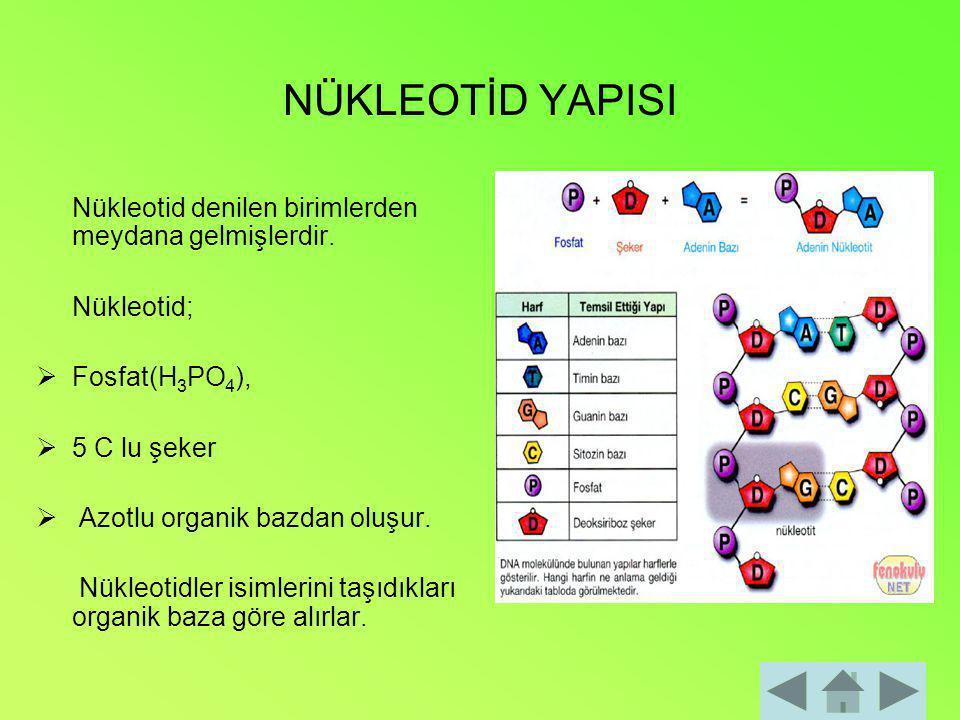 DNA-RNA YAPISAL FARKLILIKLARI NÜKLEİK ASİT PENTOZ (5 C'LU ŞEKER) N'LU ORGANİK BAZFOSFORİK ASİT PÜRİNPRİMİDİN DNA DEOKSİRİBOZ ADENİN GUANİN CİTOZİN TİMİN H 3 PO 4 RNA RİBOZADENİN GUANİN CİTOZİN URASİL H 3 PO 4
