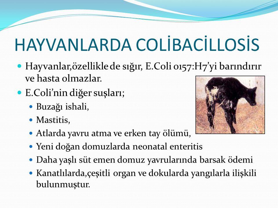 HAYVANLARDA COLİBACİLLOSİS Hayvanlar,özellikle de sığır, E.Coli o157:H7'yi barındırır ve hasta olmazlar. E.Coli'nin diğer suşları; Buzağı ishali, Mast