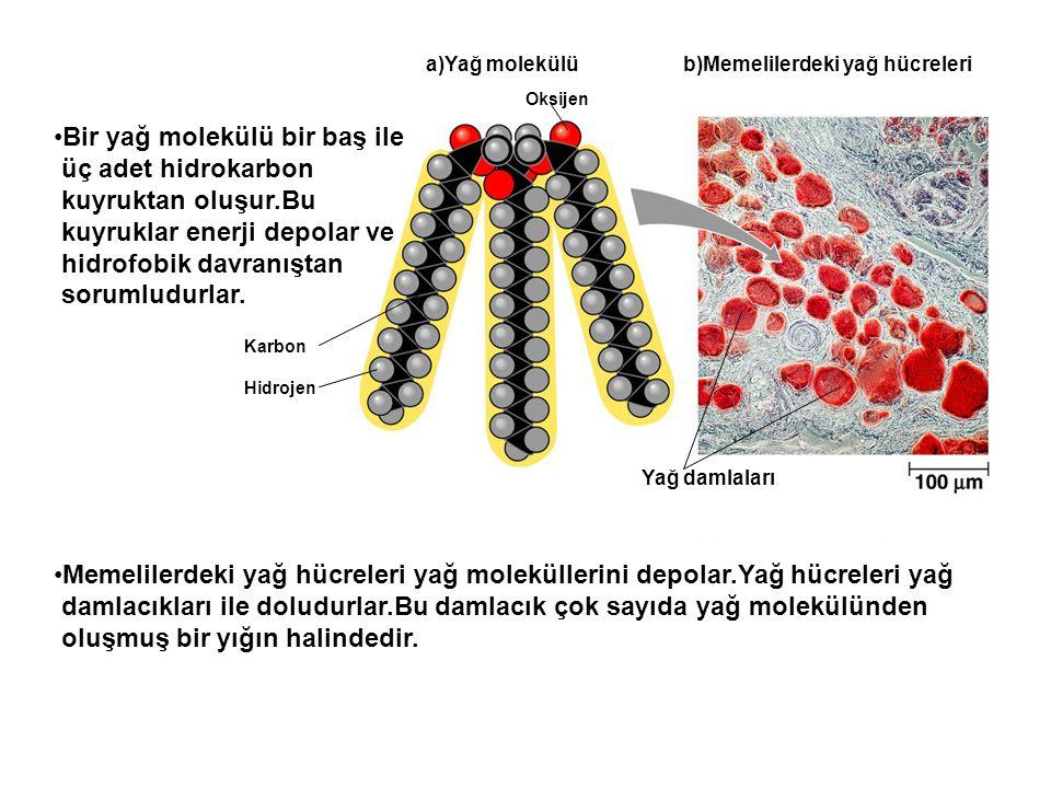 a)Yağ molekülü b)Memelilerdeki yağ hücreleri Yağ damlaları Bir yağ molekülü bir baş ile üç adet hidrokarbon kuyruktan oluşur.Bu kuyruklar enerji depol