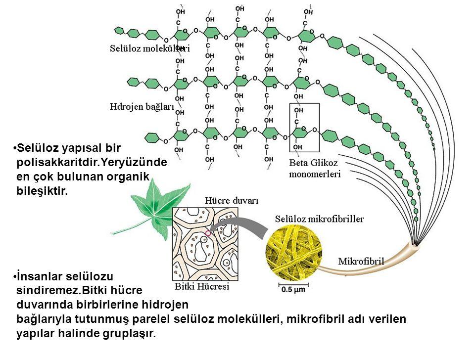 Selüloz yapısal bir polisakkaritdir.Yeryüzünde en çok bulunan organik bileşiktir. İnsanlar selülozu sindiremez.Bitki hücre duvarında birbirlerine hidr