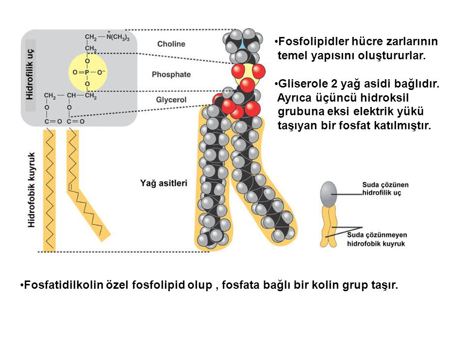 Fosfolipidler hücre zarlarının temel yapısını oluştururlar. Gliserole 2 yağ asidi bağlıdır. Ayrıca üçüncü hidroksil grubuna eksi elektrik yükü taşıyan