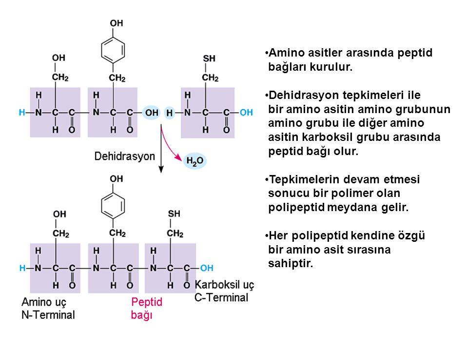 Amino asitler arasında peptid bağları kurulur. Dehidrasyon tepkimeleri ile bir amino asitin amino grubunun amino grubu ile diğer amino asitin karboksi