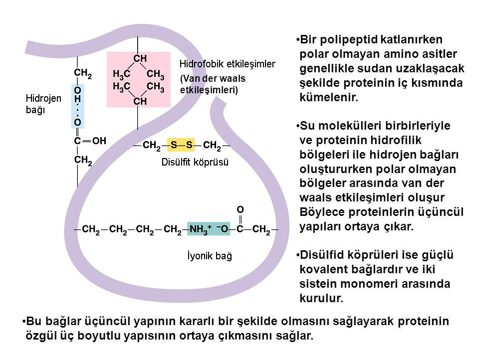(Van der waals etkileşimleri) Bir polipeptid katlanırken polar olmayan amino asitler genellikle sudan uzaklaşacak şekilde proteinin iç kısmında kümele