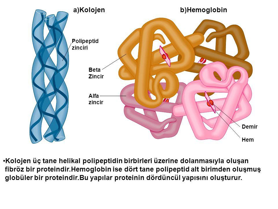 a)Kolojen b)Hemoglobin Polipeptid zinciri Beta Zincir Alfa zincir Demir Hem Kolojen üç tane helikal polipeptidin birbirleri üzerine dolanmasıyla oluşa