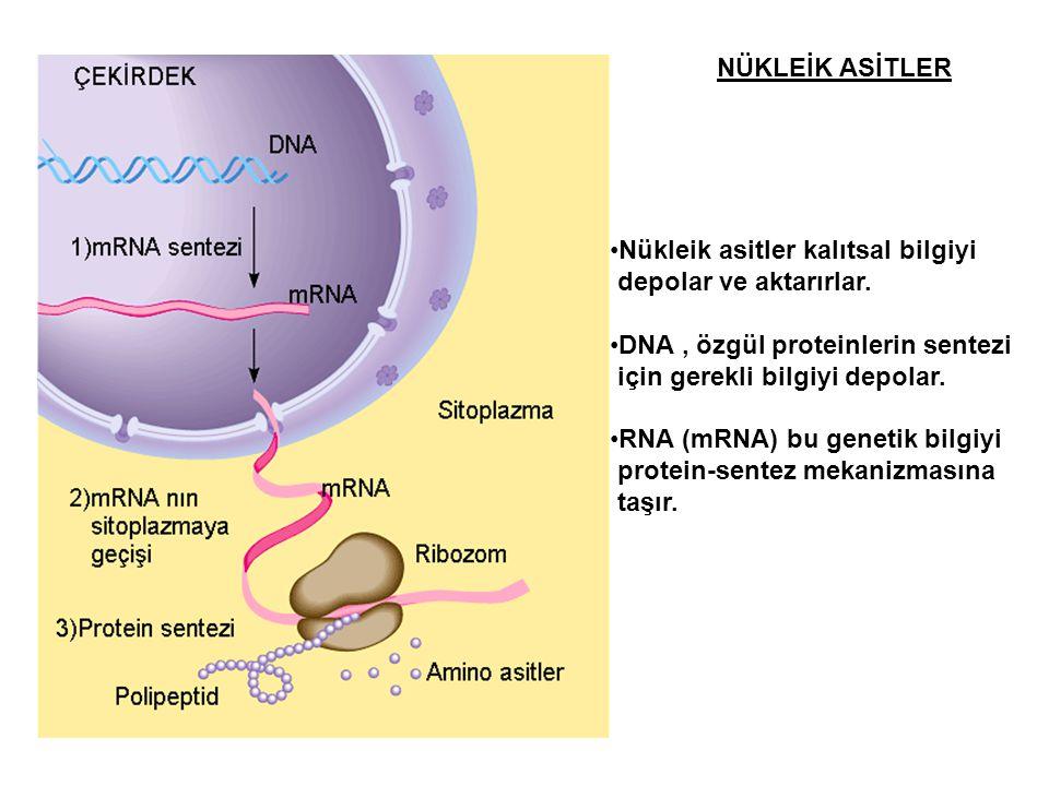 NÜKLEİK ASİTLER Nükleik asitler kalıtsal bilgiyi depolar ve aktarırlar. DNA, özgül proteinlerin sentezi için gerekli bilgiyi depolar. RNA (mRNA) bu ge