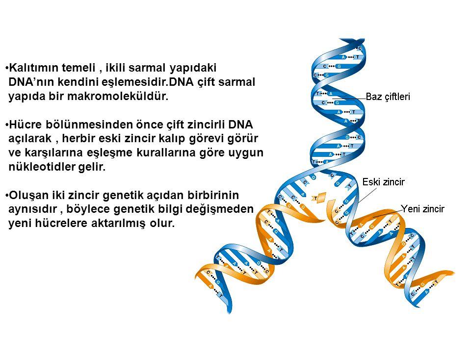 Kalıtımın temeli, ikili sarmal yapıdaki DNA'nın kendini eşlemesidir.DNA çift sarmal yapıda bir makromoleküldür. Hücre bölünmesinden önce çift zincirli