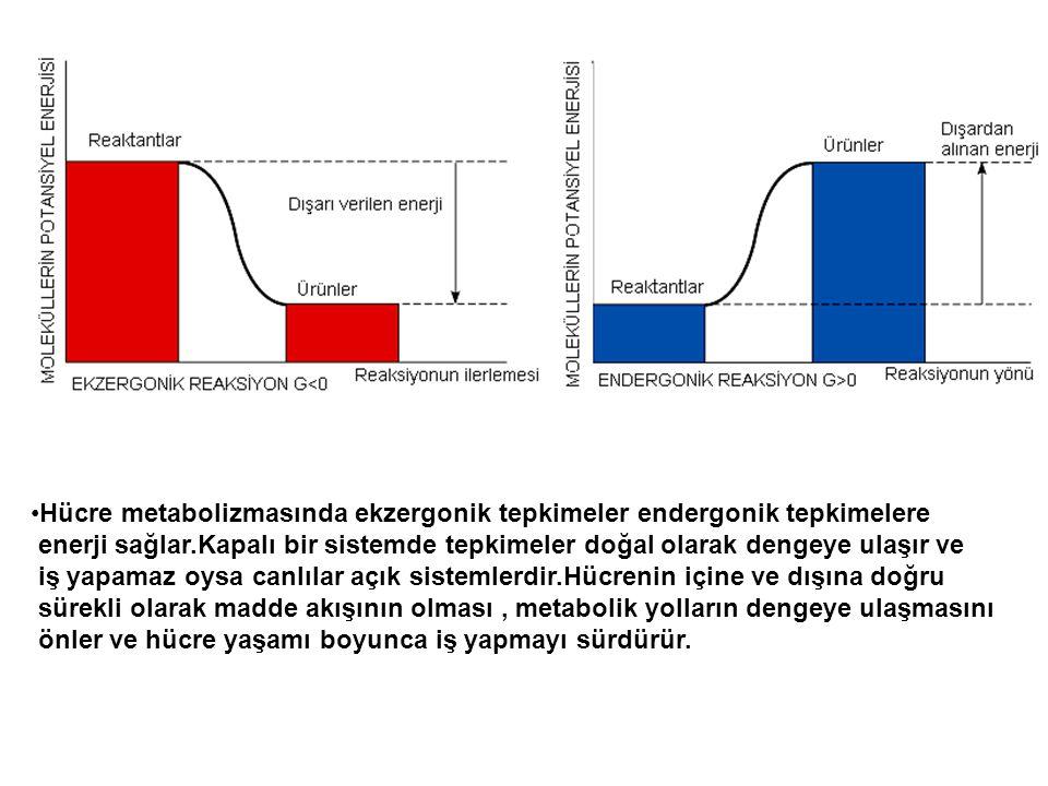 Hücre metabolizmasında ekzergonik tepkimeler endergonik tepkimelere enerji sağlar.Kapalı bir sistemde tepkimeler doğal olarak dengeye ulaşır ve iş yap