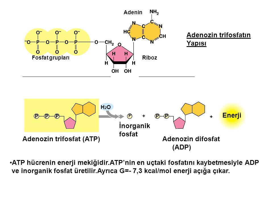 Fosfat grupları Riboz Adenin ATP Adenozin trifosfat (ATP) Adenozin difosfat (ADP) İnorganik fosfat Enerji P H2OH2O Adenozin trifosfatın Yapısı ATP hüc