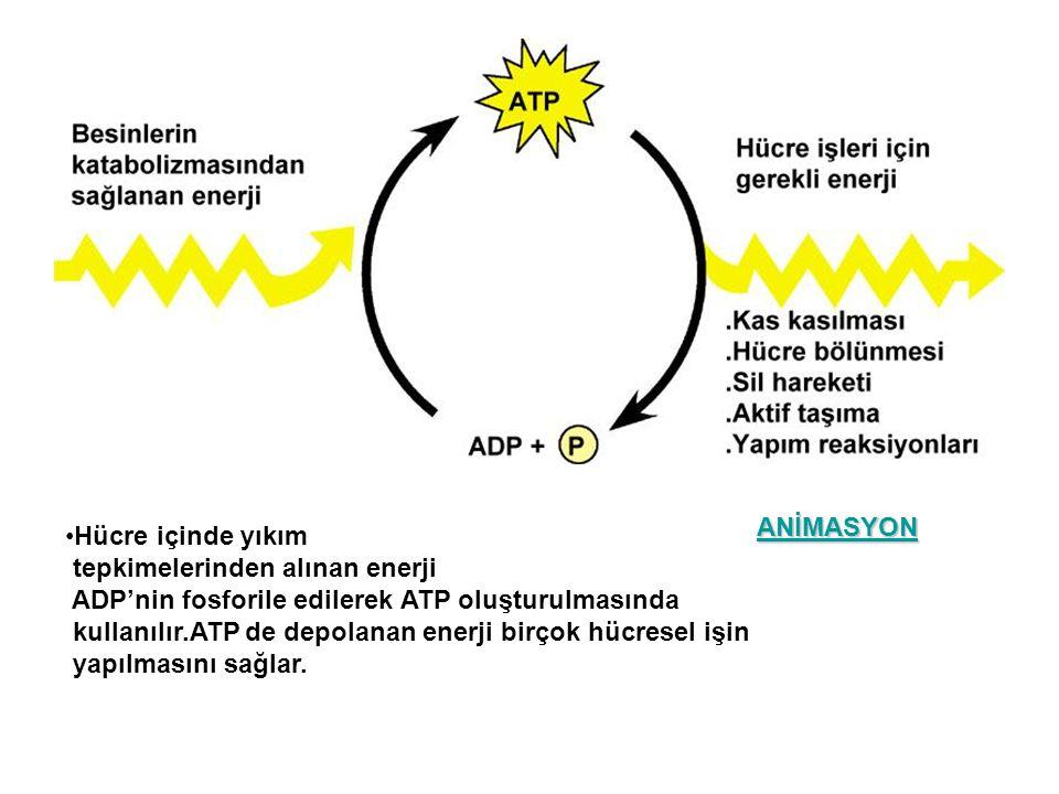 Hücre içinde yıkım tepkimelerinden alınan enerji ADP'nin fosforile edilerek ATP oluşturulmasında kullanılır.ATP de depolanan enerji birçok hücresel iş
