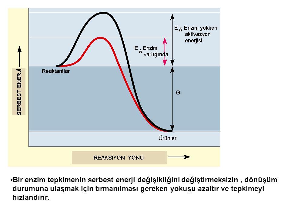 Bir enzim tepkimenin serbest enerji değişikliğini değiştirmeksizin, dönüşüm durumuna ulaşmak için tırmanılması gereken yokuşu azaltır ve tepkimeyi hız