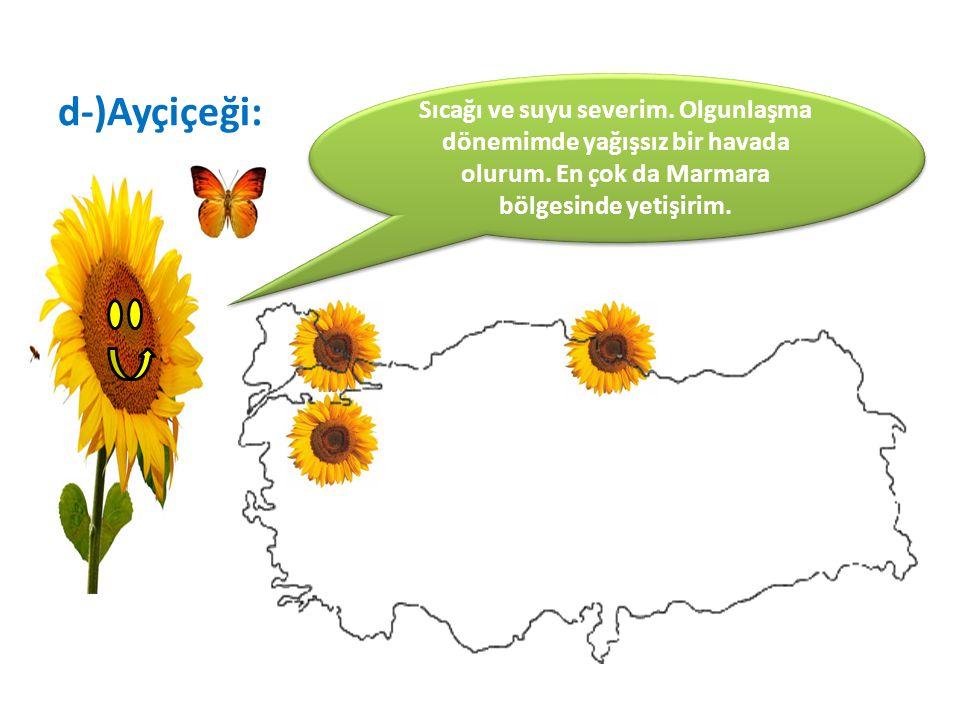 d-)Ayçiçeği: Sıcağı ve suyu severim. Olgunlaşma dönemimde yağışsız bir havada olurum. En çok da Marmara bölgesinde yetişirim.
