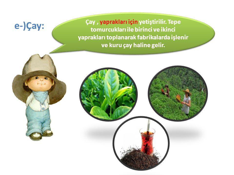 e-)Çay: Çay, yaprakları için yetiştirilir. Tepe tomurcukları ile birinci ve ikinci yaprakları toplanarak fabrikalarda işlenir ve kuru çay haline gelir