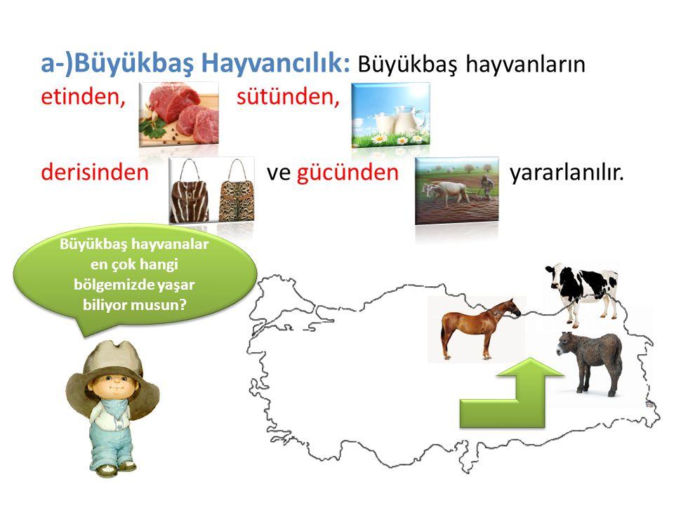 a-)Büyükbaş Hayvancılık: Büyükbaş hayvanların etinden, sütünden, derisinden ve gücünden yararlanılır. Büyükbaş hayvanalar en çok hangi bölgemizde yaşa
