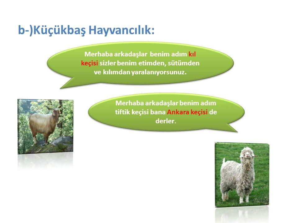 b-)Küçükbaş Hayvancılık: Merhaba arkadaşlar benim adım kıl keçisi sizler benim etimden, sütümden ve kılımdan yaralanıyorsunuz. Merhaba arkadaşlar beni