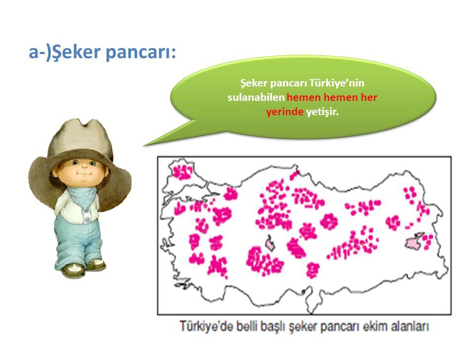 a-)Şeker pancarı: Şeker pancarı Türkiye'nin sulanabilen hemen hemen her yerinde yetişir.
