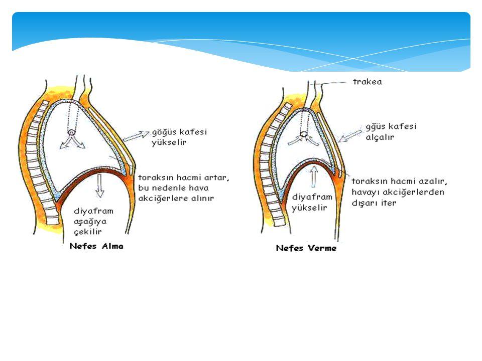 SOLUK ALMA Soluk alırken; *Kaslı bir yapısı olan diyafram aşağıya doğru düzleşir.