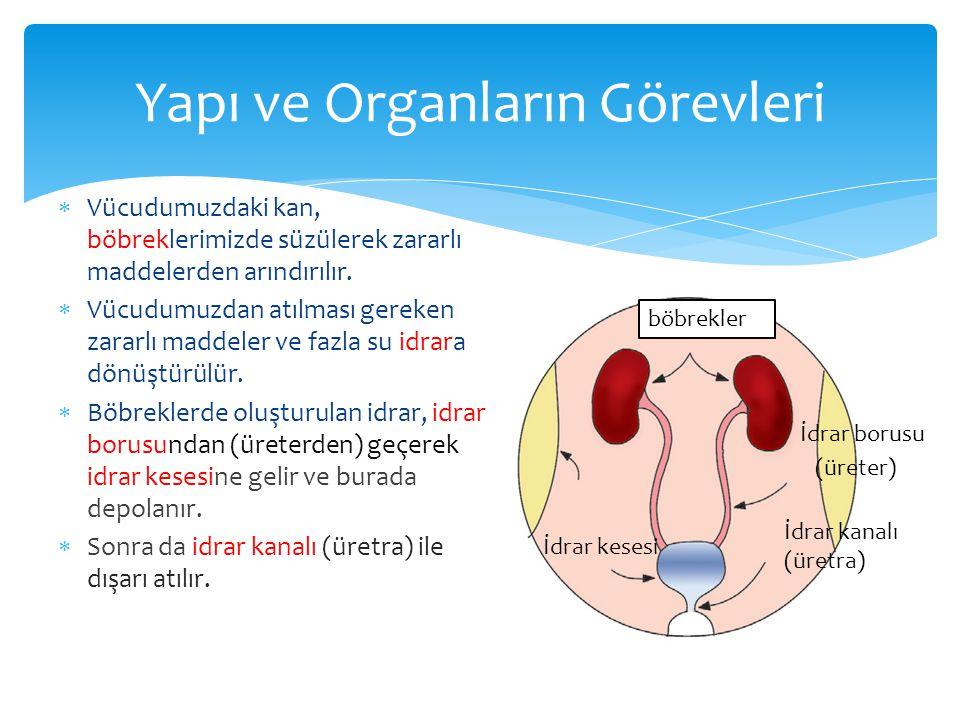 Yapı ve Organların Görevleri  Vücudumuzdaki kan, böbreklerimizde süzülerek zararlı maddelerden arındırılır.