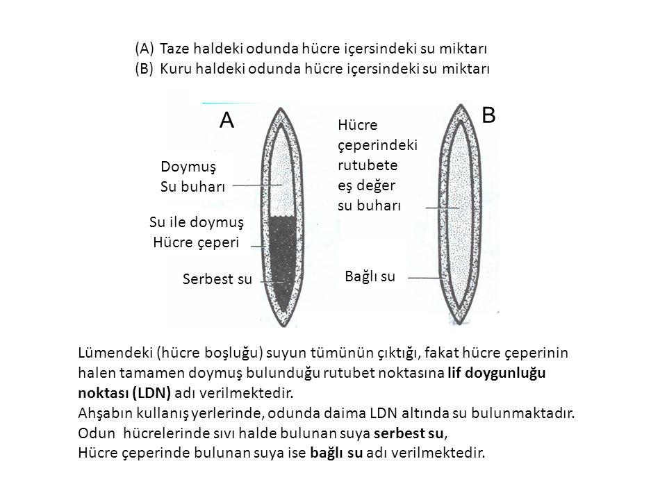 (A)Taze haldeki odunda hücre içersindeki su miktarı (B)Kuru haldeki odunda hücre içersindeki su miktarı Hücre çeperindeki rutubete eş değer su buharı