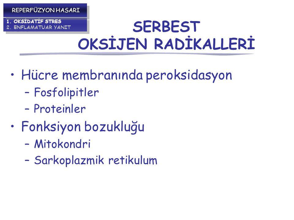 Hücre membranında peroksidasyon –Fosfolipitler –Proteinler Fonksiyon bozukluğu –Mitokondri –Sarkoplazmik retikulum 1.