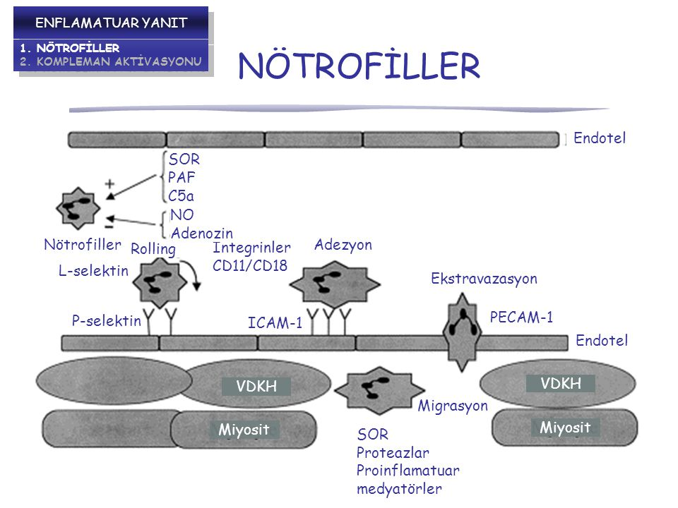 NÖTROFİLLER Endotel Ekstravazasyon PECAM-1 Migrasyon SOR Proteazlar Proinflamatuar medyatörler Adezyon İntegrinler CD11/CD18 ICAM-1 P-selektin L-selektin Nötrofiller Rolling NO Adenozin SOR PAF C5a VDKH Miyosit VDKH Miyosit ENFLAMATUAR YANIT 1.