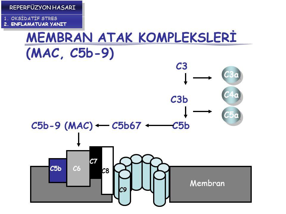 MEMBRAN ATAK KOMPLEKSLERİ (MAC, C5b-9) REPERFÜZYON HASARI 1.