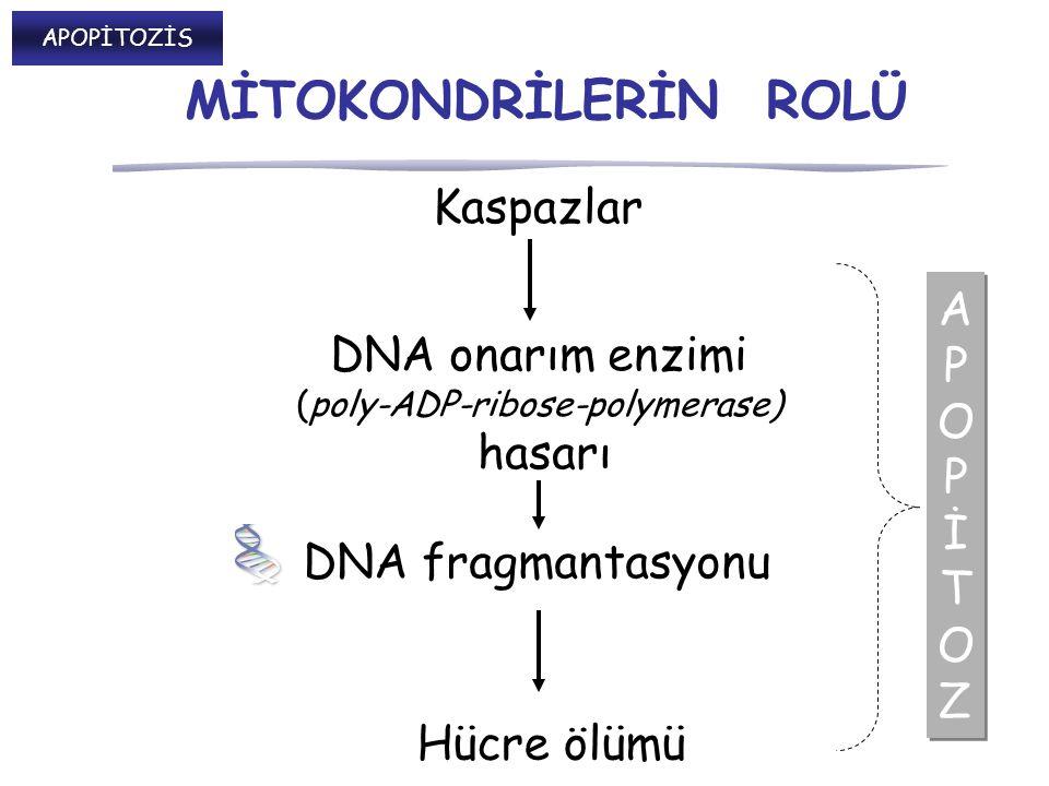 Kaspazlar APOPİTOZAPOPİTOZ APOPİTOZAPOPİTOZ DNA onarım enzimi (poly-ADP-ribose-polymerase) hasarı Hücre ölümü DNA fragmantasyonu MİTOKONDRİLERİN ROLÜ APOPİTOZİS