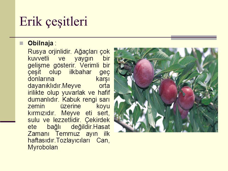 Erik çeşitleri Obilnaja : Rusya orjinlidir.Ağaçları çok kuvvetli ve yaygın bir gelişme gösterir.