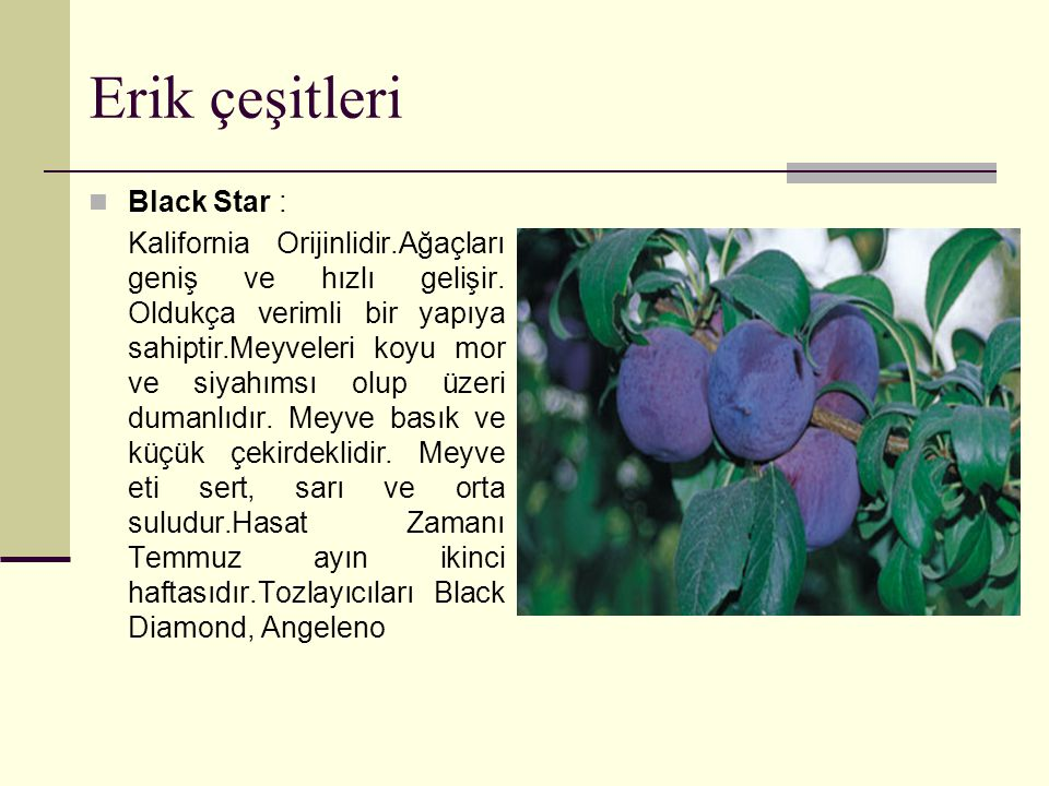 Erik çeşitleri Black Star : Kalifornia Orijinlidir.Ağaçları geniş ve hızlı gelişir.