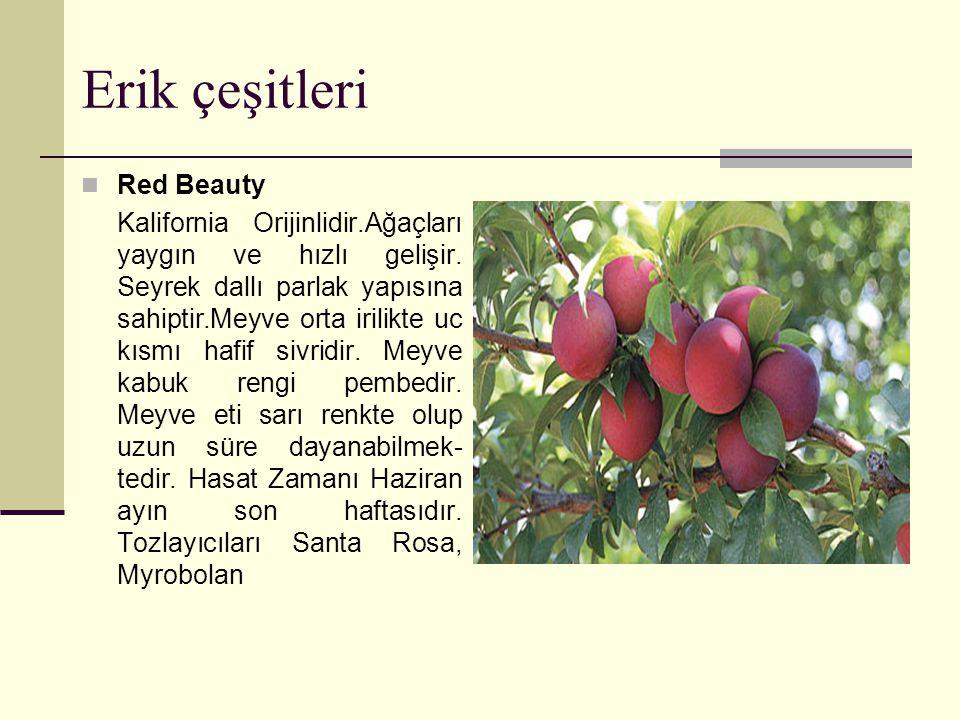 Erik çeşitleri Red Beauty Kalifornia Orijinlidir.Ağaçları yaygın ve hızlı gelişir.