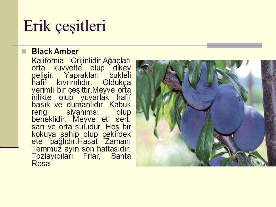 Erik çeşitleri Black Amber Kalifornia Orijinlidir.Ağaçları orta kuvvette olup dikey gelişir.