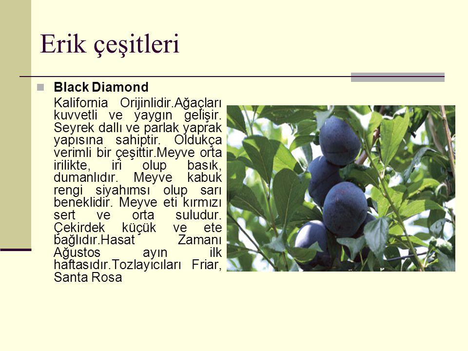 Erik çeşitleri Black Diamond Kalifornia Orijinlidir.Ağaçları kuvvetli ve yaygın gelişir.