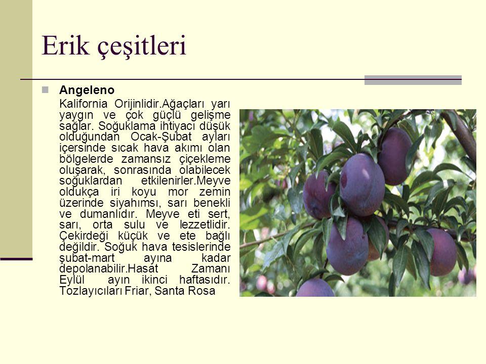 Erik çeşitleri Angeleno Kalifornia Orijinlidir.Ağaçları yarı yaygın ve çok güçlü gelişme sağlar.