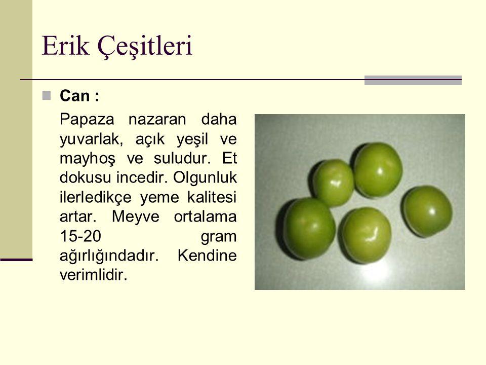 Erik Çeşitleri Can : Papaza nazaran daha yuvarlak, açık yeşil ve mayhoş ve suludur.