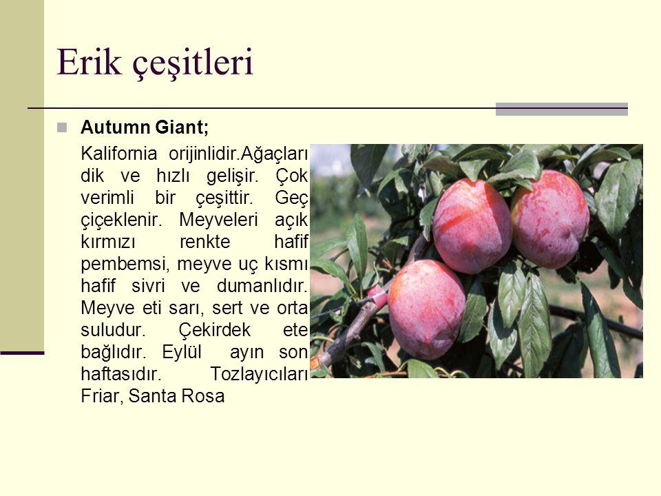 Erik çeşitleri Autumn Giant; Kalifornia orijinlidir.Ağaçları dik ve hızlı gelişir.