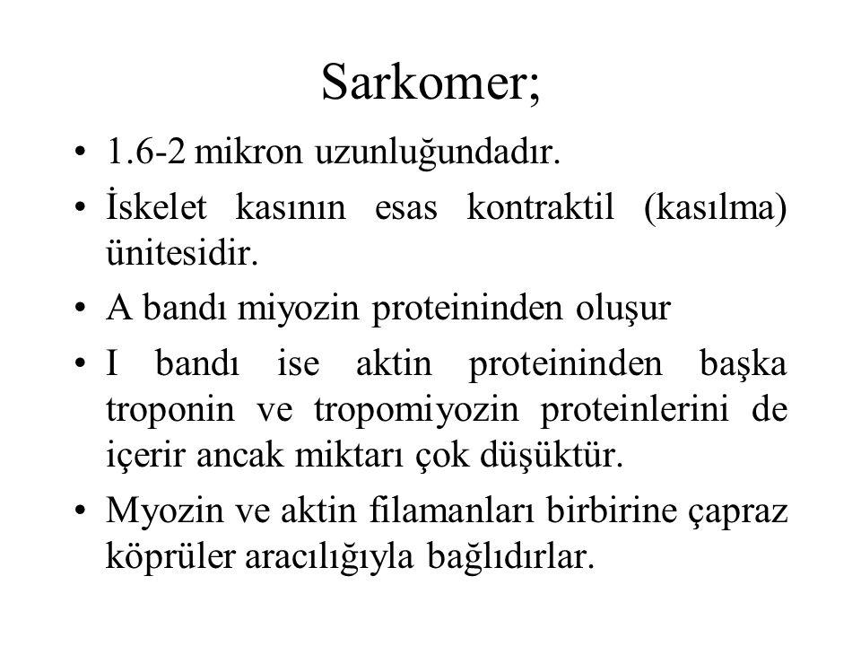 Sarkomer; 1.6-2 mikron uzunluğundadır. İskelet kasının esas kontraktil (kasılma) ünitesidir. A bandı miyozin proteininden oluşur I bandı ise aktin pro