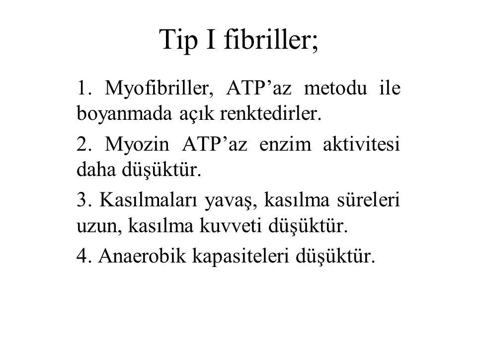 Tip I fibriller; 1. Myofibriller, ATP'az metodu ile boyanmada açık renktedirler. 2. Myozin ATP'az enzim aktivitesi daha düşüktür. 3. Kasılmaları yavaş