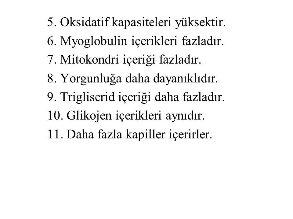 5. Oksidatif kapasiteleri yüksektir. 6. Myoglobulin içerikleri fazladır. 7. Mitokondri içeriği fazladır. 8. Yorgunluğa daha dayanıklıdır. 9. Trigliser
