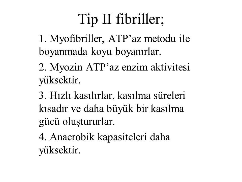 Tip II fibriller; 1. Myofibriller, ATP'az metodu ile boyanmada koyu boyanırlar. 2. Myozin ATP'az enzim aktivitesi yüksektir. 3. Hızlı kasılırlar, kası