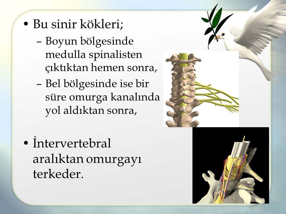 Bu sinir kökleri; –Boyun bölgesinde medulla spinalisten çıktıktan hemen sonra, –Bel bölgesinde ise bir süre omurga kanalında yol aldıktan sonra, İntervertebral aralıktan omurgayı terkeder.