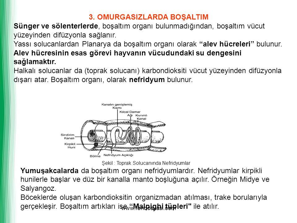 www.fendosyasi.com 3. OMURGASIZLARDA BOŞALTIM Sünger ve sölenterlerde, boşaltım organı bulunmadığından, boşaltım vücut yüzeyinden difüzyonla sağlanır.