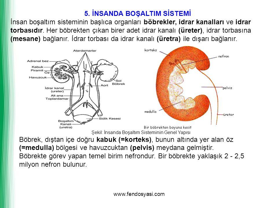 www.fendosyasi.com 5. İNSANDA BOŞALTIM SİSTEMİ İnsan boşaltım sisteminin başlıca organları böbrekler, idrar kanalları ve idrar torbasıdır. Her böbrekt