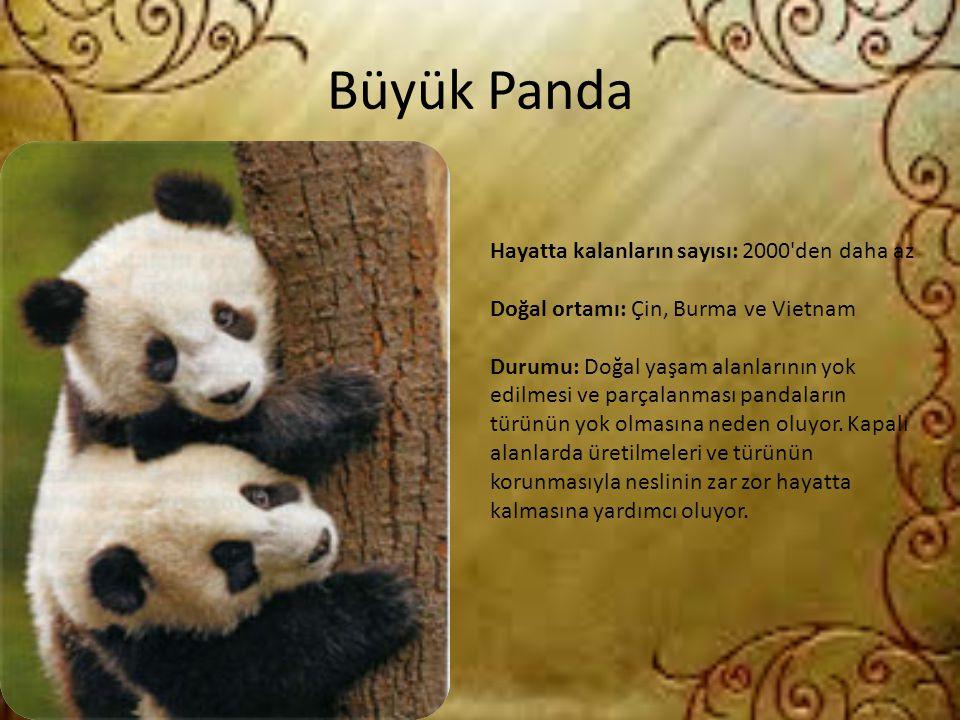 Büyük Panda Hayatta kalanların sayısı: 2000'den daha az Doğal ortamı: Çin, Burma ve Vietnam Durumu: Doğal yaşam alanlarının yok edilmesi ve parçalanma