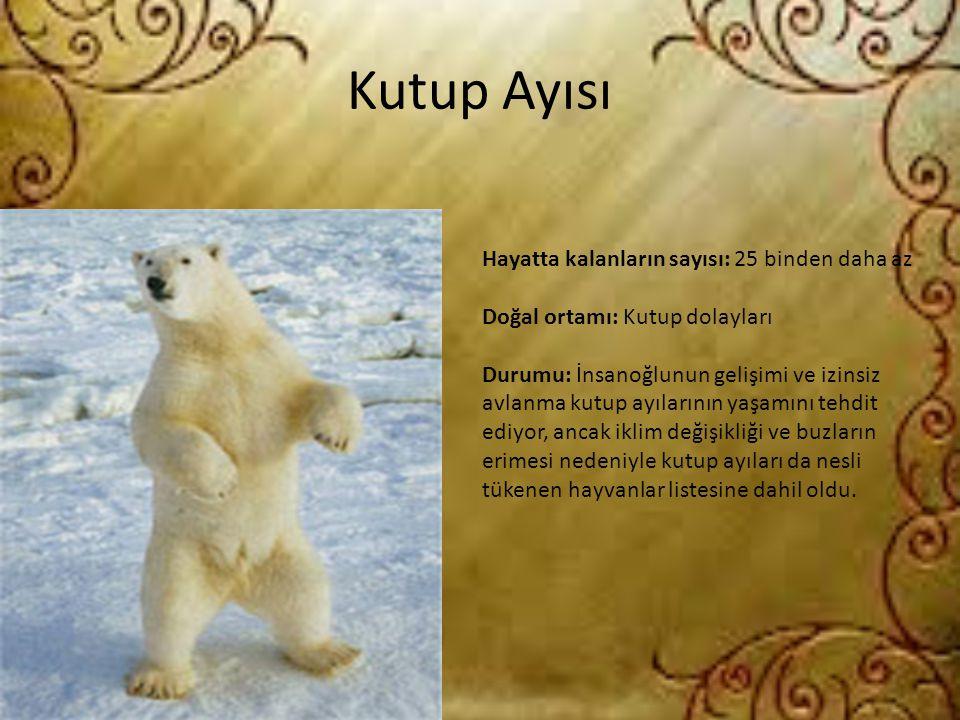Kutup Ayısı Hayatta kalanların sayısı: 25 binden daha az Doğal ortamı: Kutup dolayları Durumu: İnsanoğlunun gelişimi ve izinsiz avlanma kutup ayıların