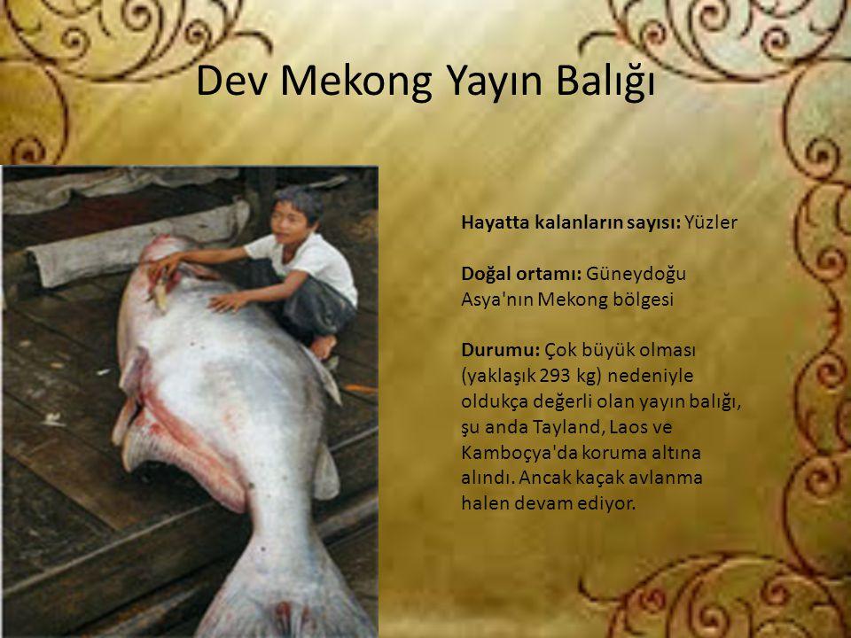 Dev Mekong Yayın Balığı Hayatta kalanların sayısı: Yüzler Doğal ortamı: Güneydoğu Asya'nın Mekong bölgesi Durumu: Çok büyük olması (yaklaşık 293 kg) n